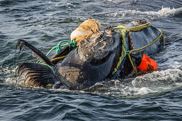 Fishing ropes wrap around the head and mouth, damaging the baleen of a severely entangled North Atlantic right whale (Eubalaena glacialis) in the Gulf of Saint Lawrence, Canada. Fishing gear entanglem...