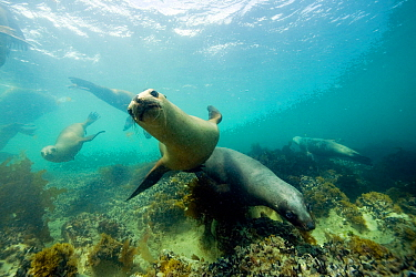 South American sea lion (Otaria flavescens) underwater, Golfo Nuevo, Peninsula Valdes UNESCO Natural World Heritage Site, Chubut, Patagonia, Argentina, Atlantic Ocean, October