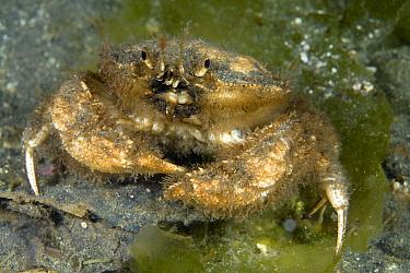 Crab covered in algae, Golfo Nuevo, Peninsula Valdes UNESCO Natural World Heritage Site, Chubut, Patagonia, Argentina, Atlantic Ocean, October