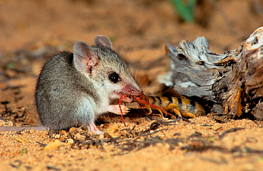 Little long-tailed dunnart (Sminthopsis dolichura) catching a centipede, Shark Bay World Heritage Area, Western Australia.