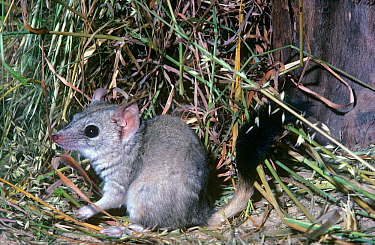 Kowari (Dasyuroides byrnei) adult, captive at Perth Zoo, Australia.