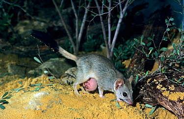 Kowari (Dasyuroides byrnei) female with pouch visible under mother's belly, captive at Perth Zoo, Australia,
