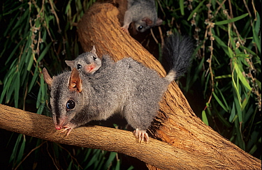 Brush-tailed phascogale (Phascogale tapoatafa) female with young, Kingston Forest, Western Australia.