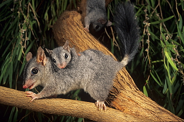Brush-tailed phascogale (Phascogale tapoatafa) female with young, Kingston Forest, Western Australia, October.