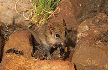 Ningbing pseudantechinus (Pseudantechinus ningbing) feeding on a spider, Mornington Station, in the Kimberley, Western Australia.