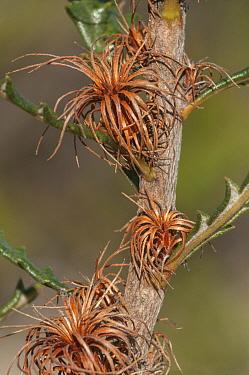 Bearded dryandra (Banksia shuttleworthiana), Western Australian endemic plant, Yardanogo Nature Reserve, September 2014