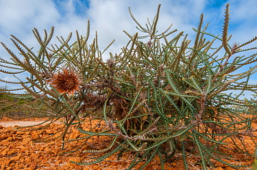 Bearded Dryandra (Banksia shuttleworthiana) Western Australian endemic plant, Yardanogo Nature Reserve, Australia.