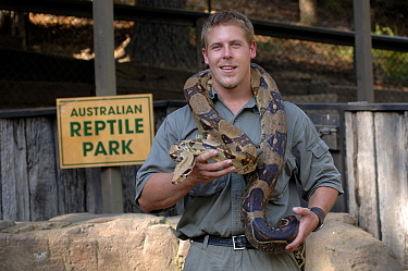 Herpetologist holding a Carpet or Diamond Python (Morelia spilota), The Australian Reptile Park, Gosford, New South Wales, Australia. April. (Editorial use only)