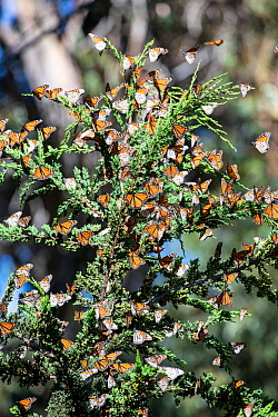Monarch butterfly, (Danaus plexippus), migrating group resting in tree Pismo Beach, California, USA. January.
