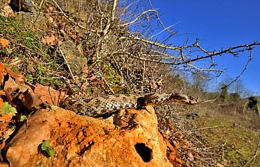Horned viper (Vipera ammodytes) in natural setting, Turkey.