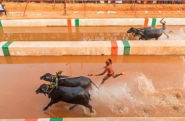 Kambala buffalo races - aerial view of the racer and buffaloes in the 'Negilu race', in which buffaloes are tied to a lightweight plough apparatus, Kambala buffalo races, Karnataka, India. Feb...