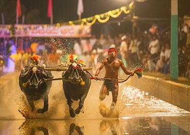 Kambala buffalo racing - 'Hagga' buffalo race in which the racer holds onto rope, running with buffalo. Karnataka, India, January 2019.