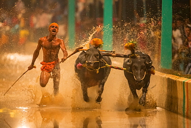 Kambala buffalo racing - 'Negilu' race, in which buffaloes are tied to a lightweight plough apparatus, Karnataka, India. February 2019.