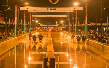 Kambala racing, a buffalo race which takes place on two parallel slushy tracks. Karnataka, India.