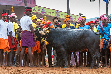 Kamabala buffalo racing - Indian men looking after buffalo, and watching timer during buffalo races. Karnataka, India, January 2019.