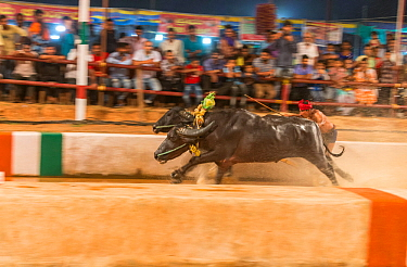 "Kambala buffalo racing, Karnataka, India - Man standing with both feet on large rectangular wooden block driving buffalo in race called ""Adda Halage'. The aim of the race is to splash water as wid..."