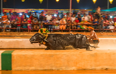 "Kambala buffalo racing. Man standing with both feet on large rectangluar wooden block driving buffalo in race called ""Adda Halage'. The aim of the race is to splash water as widely as possible, an..."