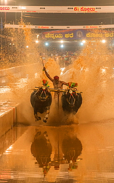 Kambala buffalo racing in Karnataka, India - Kane Halage race when man stands with one leg on round shaped wooden block tied to pair of buffalos with aim to splash water as high as possible to reach w...