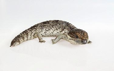 Portrait of a Shingleback lizard (Tiliqua rugosa asper). Captive, rescued from wildlife smuggling.
