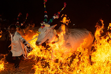 Bulls led by owner over a fire during a ritual at the Hindu festival of Makar Sankranti , Karnataka, India. January 2019.
