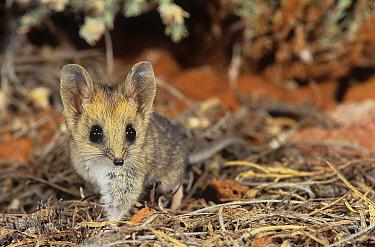 Fat-tailed dunnart (Sminthopsis crassicaudata) - Goongarrie NP, Goldfields Region, Western Australia.