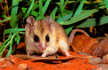 Lesser hairy-footed dunnart (Sminthopsis youngsoni) with a caught legless lizard. Karlamilyi (Rudall River) National Park, Little Sandy Desert, Western Australia.