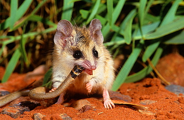 Lesser hairy-footed dunnart (Sminthopsis youngsoni) consuming a legless lizard. Karlamilyi (Rudall River) National Park, Little Sandy Desert, Western Australia.
