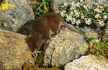 Dusky antechinus (Antechinus swainsonii) Australian Alps, Kosciuszko NP, New South Wales, Australia.