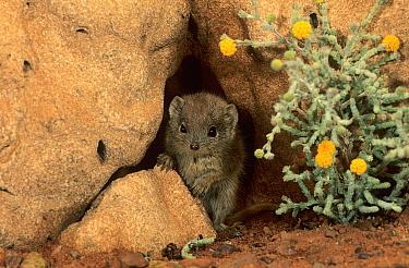 Little red kaluta (Dasykaluta rosamondae) Great Sandy Desert, Western Australia.