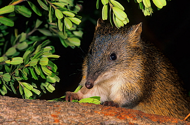 Southern brown dandicoot (Isoodon obesulus subsp. fusciventer) Waychinicup NP, South-west Region of Western Australia.