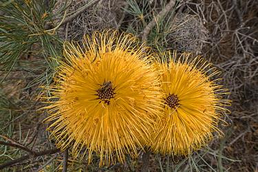 Ironcap Banksia (Banksia sphaerocarpa var. dolichostyla), Western Australian endemic plant, South Ironcap, Goldfields, Western Australia.