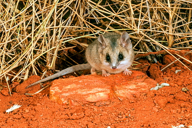 Lesser hairy-footed dunnart (Sminthopsis youngsoni) Rawlinson Range, Gibson Desert, Western Australia.