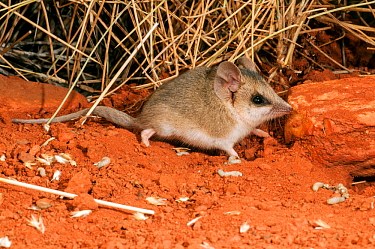 Lesser hairy-footed dunnart (Sminthopsis youngsoni) Rawlinson Range in Gibson Desert, Western Australia.