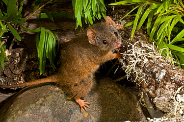 Yellow-footed antechinus (Antechinus flavipes subsp. flavipes) Chaelundi NP, New South Wales, Australia.