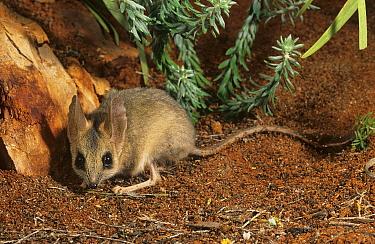 Wuhl-wuhl / Kultarr (Antechinomys laniger) Lorna Glenn Conservation Park, Western Australia.
