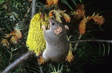 Agile Antechinus (Antechinus agilis) feeding on banksia. Grampians NP, Victoria, Australia.