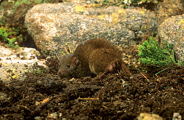 Dusky antechinus (Antechinus swainsonii) female with pouch young protruding out of the pouch, Kosciuszko NP, New South Wales, Australia.