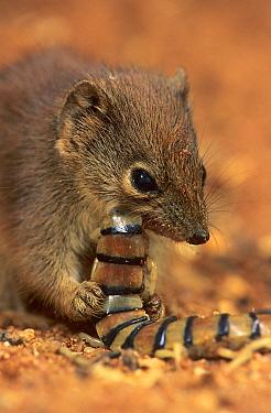 Little red kaluta (Dasykaluta rosamodae) feeding on a centipede, Kennedy Range NP, Western Australia.