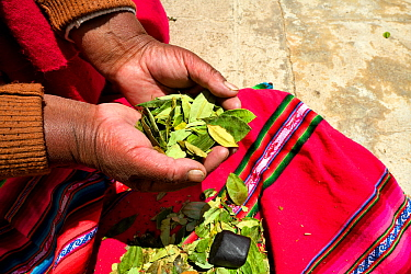 Aymara woman with coca leaves (Erythroxylum coca) in hand, Lake Titicaca, Bolivia.