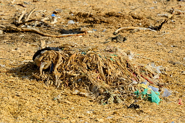 Remains of bags and plastics from the contents of a Cow's stomach, although the body has decomposed the plastics remain, Thar desert, Rajasthan, India.