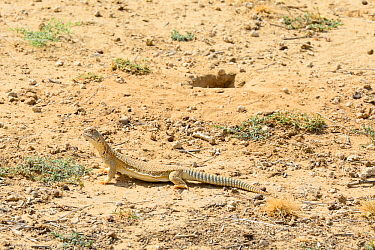 Spiny-tailed lizard (Uromastyx hardwickii) near its excavated burrow, Rajasthan, India.