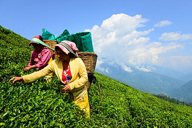 Women picking Tea (Camelia sinensis) leaves by hand in organic tea fields, Temi Tea Garden, Sikkim, India, October 2018.