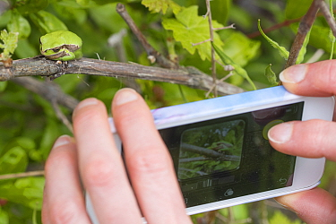 Person using mobile phone to photograp Lemon-yellow tree frog (Hyla savignyi) Cyprus. April.