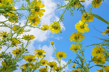 Crown daisy (Glebionis coronarium) flowers against sky, low angle view. Cyprus. April.