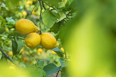 Lemon (Citrus limon), fruit growing on tree. Cyprus. April.