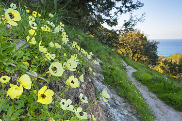 Turban buttercup (Ranunculus asiaticus) growing on bank beside footpath with sea beyond. Cyprus. April.
