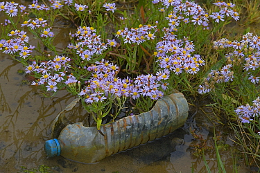 Sea asters (Aster tripolium) and discarded rubbish bottle, Norfolk, England, UK. September.