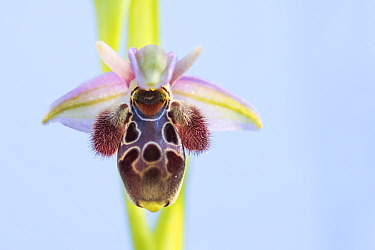 Umbilicate woodcock orchid (Ophrys umbilicata) flower, close up. Cyprus. April.