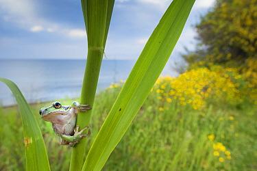 Lemon-yellow tree frog (Hyla savignyi) peering around coastal plant. Cyprus. April.