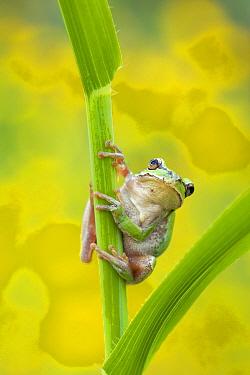 Lemon-yellow tree frog (Hyla savignyi) climbing up grass stem. Cyprus. April.